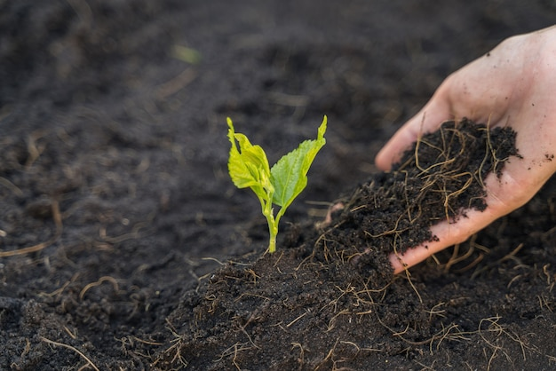 The soil is in the hand of women who are planting seedling.