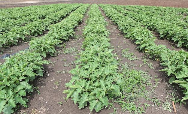 Кукуруза solanum, культивируемое растение, тайский баклажан, баклажаны, органическая ферма