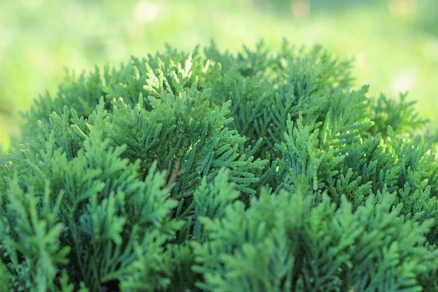 庭の太陽球形の緑のarborvitae