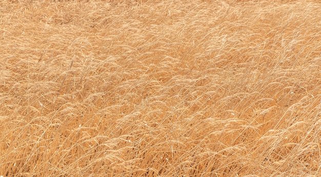 Solid background of dry wild grass like ears of golden color.