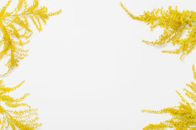 Solidago flowers on white background