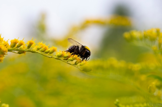 Solidago、夏のアキノキリンソウの黄色い花。孤独な蜂は黄色い開花アキノキリンソウの上に座っています
