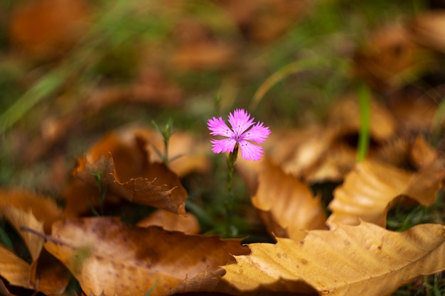 Solitary flower in autumn among the leaves