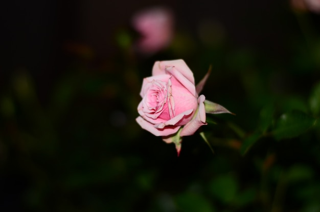 Solitary light pink rose on a unfocused black and dark green background