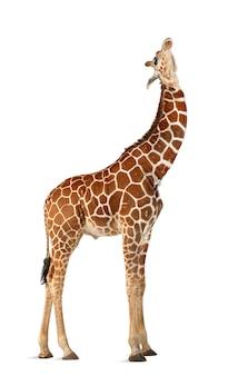 일반적으로 그물 모양의 기린, giraffa camelopardalis reticulata로 알려진 소말리아 기린, 흰색 표면에 서있는 2 년 반