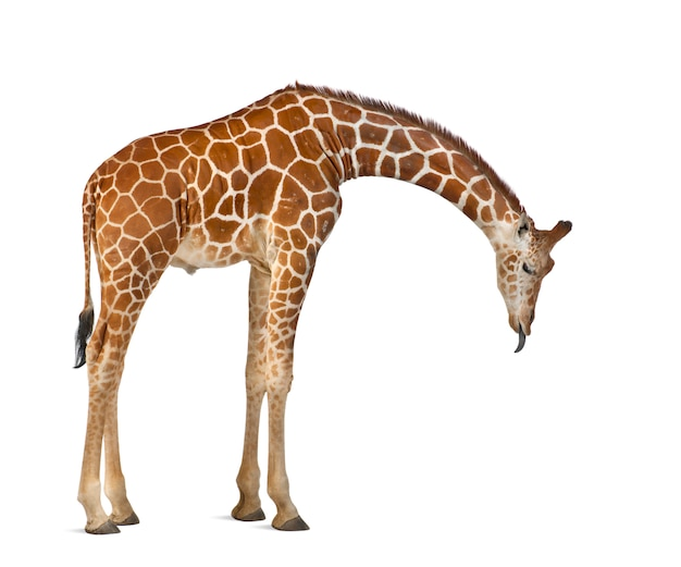 Somali giraffe, commonly known as reticulated giraffe, giraffa camelopardalis reticulata, standing against white wall isolated