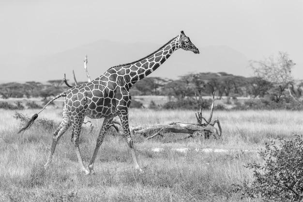 Сомалийский жираф переходит пышный зеленый луг