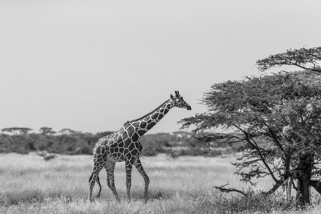 Сомалийские жирафы едят листья акации
