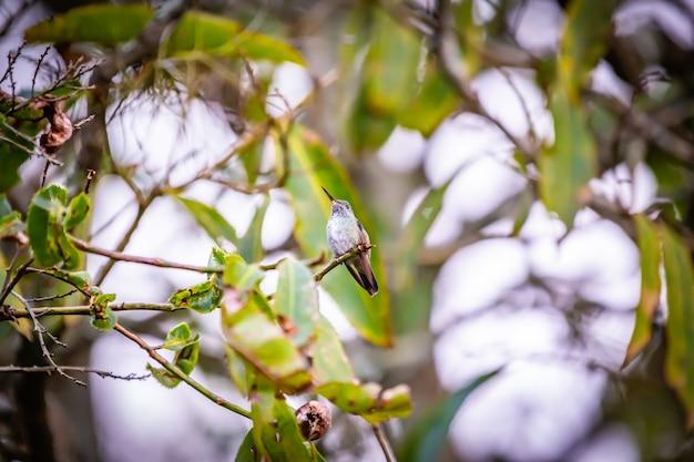Sombreハチドリ(aphantochroa cirrochloris)aka beija  - フロールシンザブラジルの木に立っています。