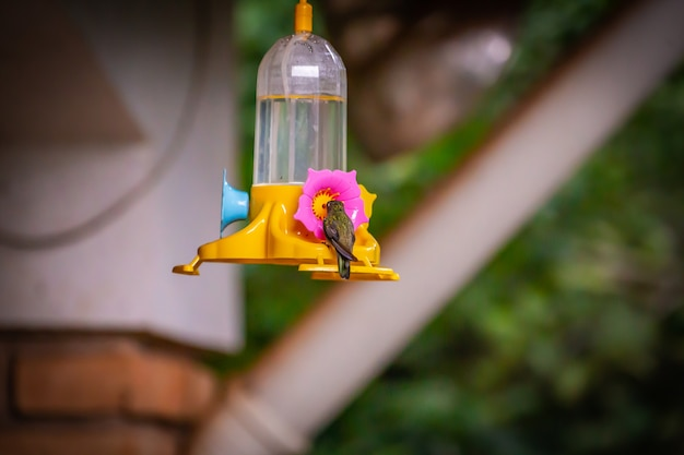Sombre hummingbird (aphantochroa cirrochloris) питается кормушкой в бразилии, coutryside