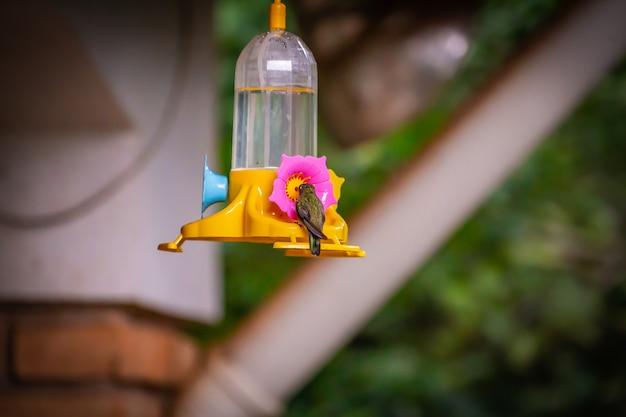 Sombre hummingbird (aphantochroa cirrochloris) feeding on a feeder in brazil coutryside