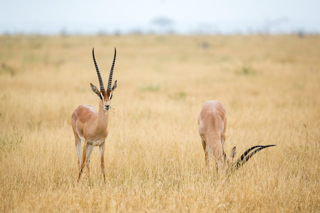Some antelopes in the grassland of the savannah