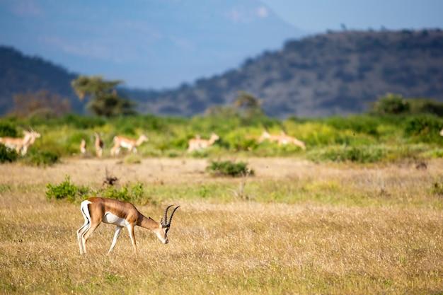 케냐의 잔디 풍경에 일부 영양