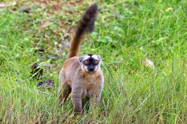 いくつかの茶色のキツネザルは牧草地と木の幹で遊んで、訪問者を待っています