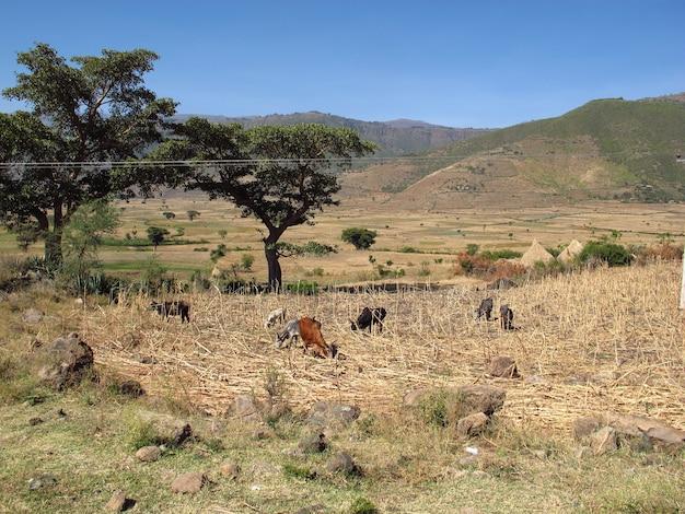 エチオピアの畑にいる何頭かの牛