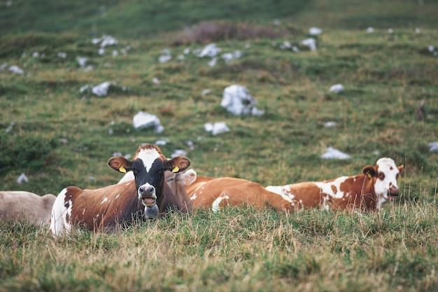 Несколько коров на земле на лугу в итальянских альпах