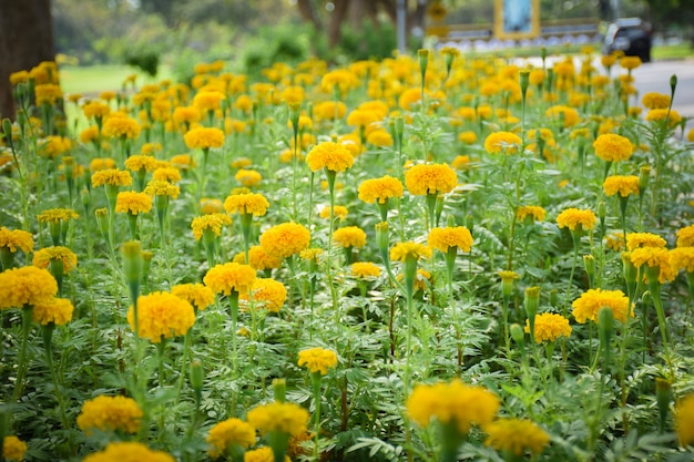 Some focus of marigold flowers with leafs on filed