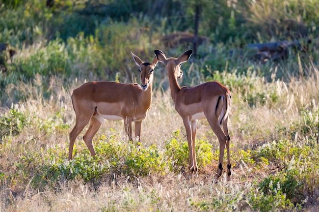 Some impalas stand together in the grass landscape
