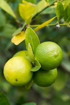 레몬 나무에 약간의 레몬입니다. 개별 농장. 레몬은 비타민 c가 풍부합니다.