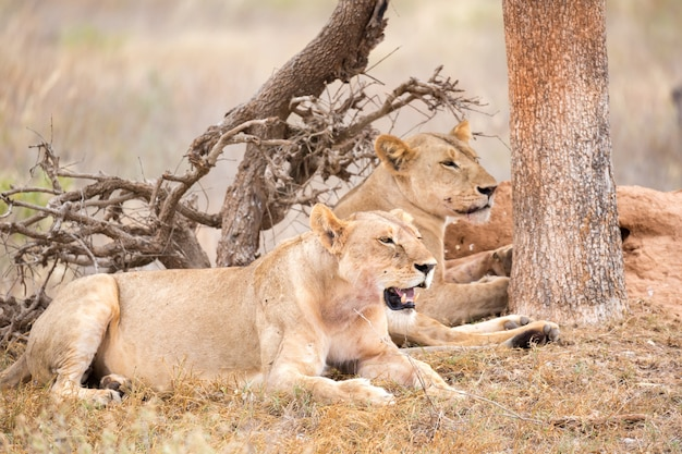 いくつかのライオンは木の陰で休む