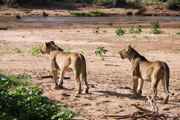 一部のライオンは川のほとりを歩いています