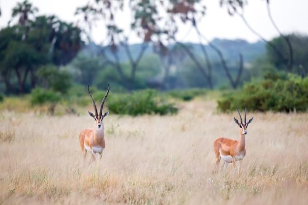 ケニアのサバンナの草原のいくつかのネイティブアンテロープ