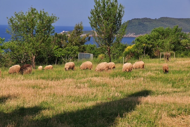 Some sheep on field of montenegro