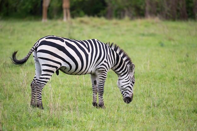 ケニアのサバンナの真ん中にあるシマウマ