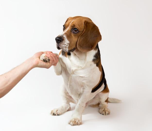 Чья-то рука трясет лапой собаки породы американский бигль