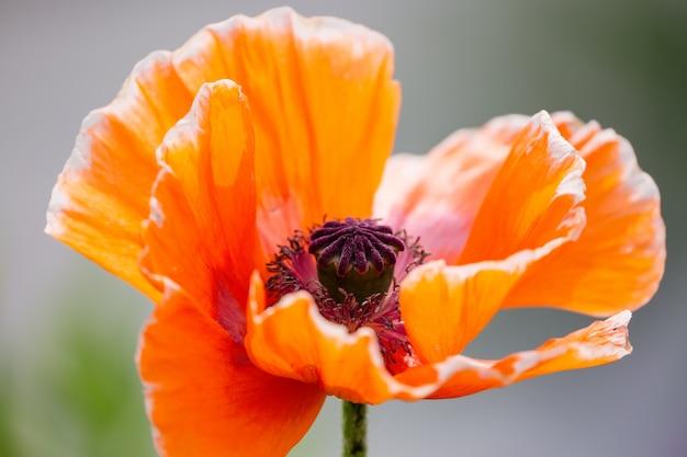 オレンジ色のケシの花ケシsomniferumをクローズアップ