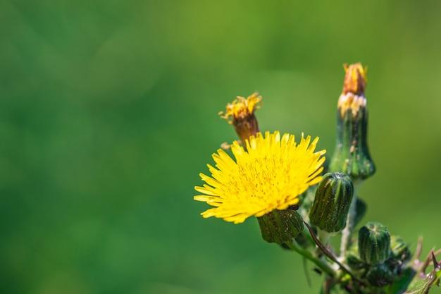 가시 엉겅퀴, 거친 우유 엉겅퀴, 가시 엉겅퀴, 날카로운 드리 워진 엉겅퀴라고도 일반적으로 알려진 sonchus asper 꽃