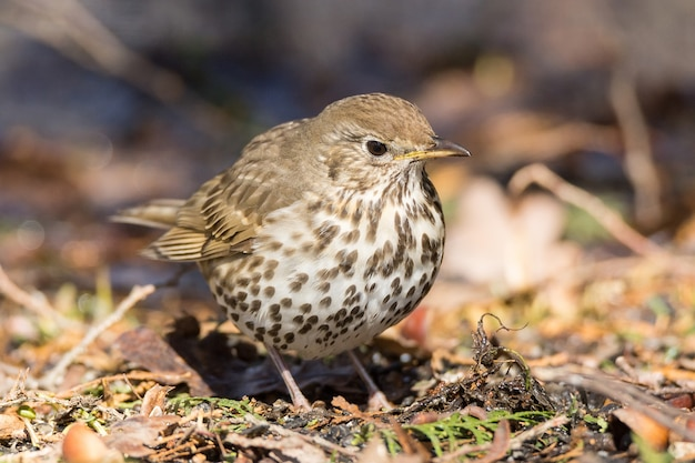 Song thrush on the ground