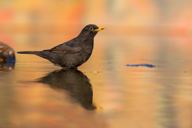 Певческий дрозд самец сидит в воде с отражением осенью