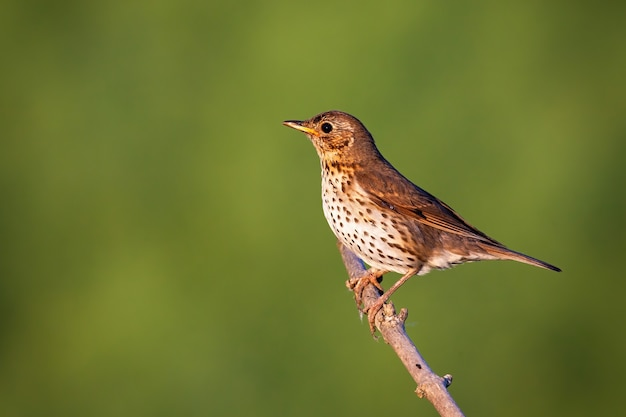 Song thrush sitting on bough in sunny nature