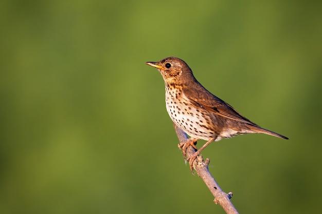 Певчий дрозд сидит на ветке в солнечной природе