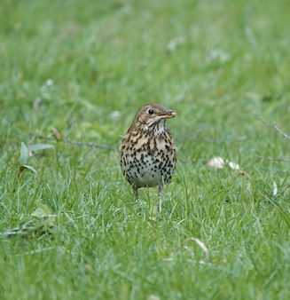 Song thrush standing in a field of grass with round seeds in its mouth