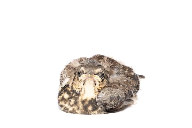 고립 된 노래 아구창 (turdus philomelos)