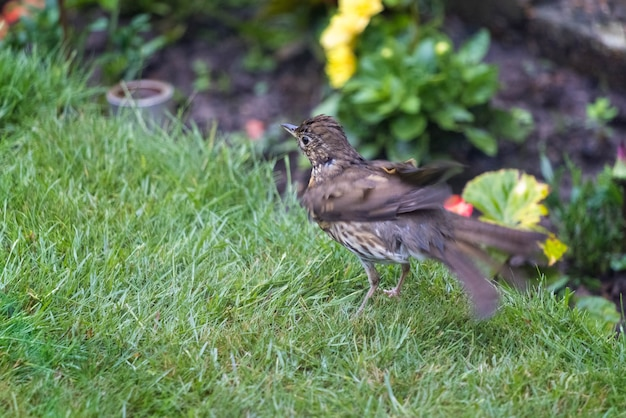 Song thrush (turdus philomelos) standing on a lawn shaking its feathers