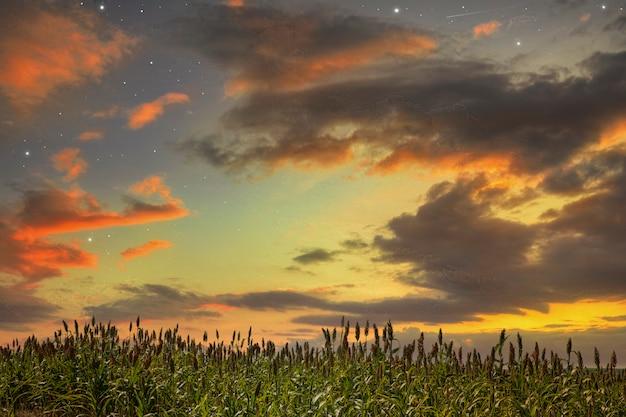 ソルガムバイカラーは、イネ科の草の顕花植物の属です。オーストラリア原産で、アフリカ、アジア、インド洋と太平洋の特定の島々にまで及ぶものもあります。