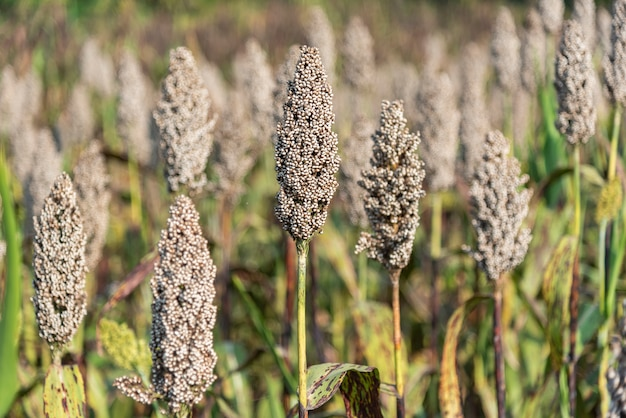 Sorghum field in the morning