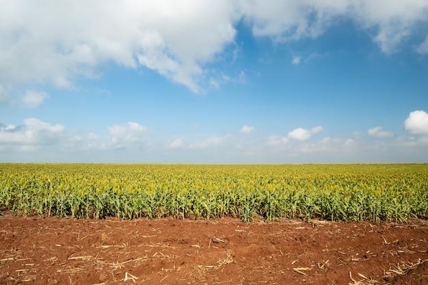 브라질의 화창한 날에 수수 농장입니다.