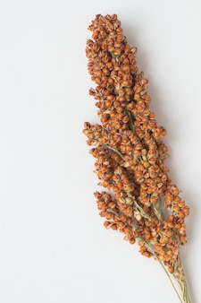 Sorghum twig on the white surface