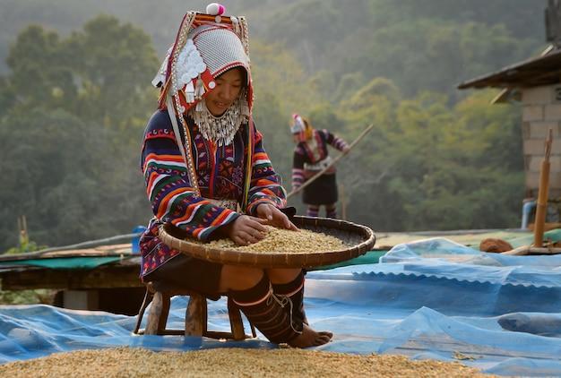 Сортировка фермеров кофейных зерен арабика, бан пахи, провинция чианграй, сельскохозяйственная концепция