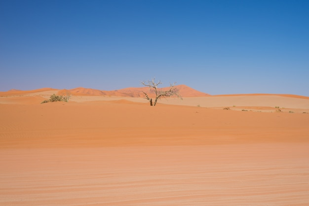 Sossusvlei namibia, braided acacia trees and majestic sand dunes
