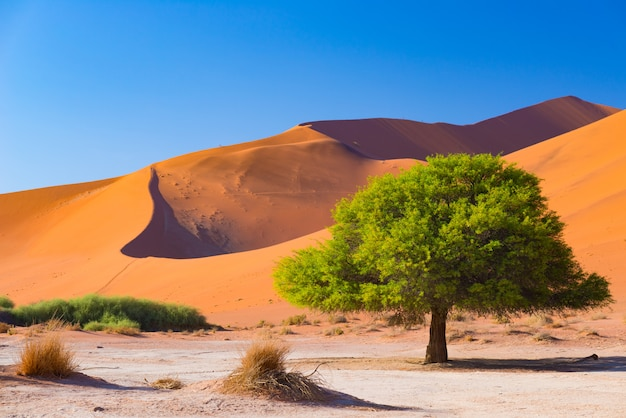 Sossusvlei namibia, scenic clay salt flat with braided acacia trees and majestic sand dunes.