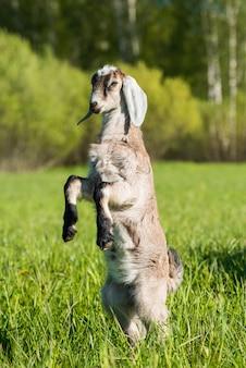 Южноафриканский бурский козел делает портрет на природе