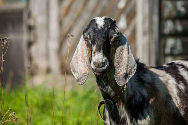 South african boer goat doeling