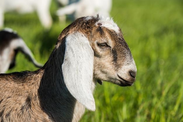 Южноафриканский бурский козел