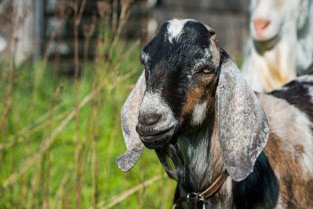Южноафриканский бурский козел в природе