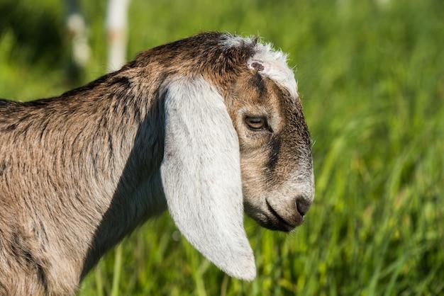 南アフリカのボーアヤギまたは屋外の自然のヤギdoelingの肖像画